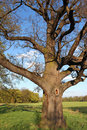Very old oak tree in green meadow Royalty Free Stock Photos
