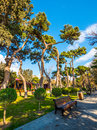 Very old pine tree in the National Seaside Park in Baku city Royalty Free Stock Photo
