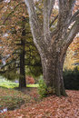 Very old tree in the park in the fall and foliage on ground Royalty Free Stock Photo