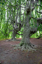 Very Old Trees