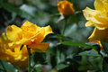 Very Pretty Flowering Yellow R...