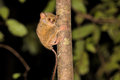 Very rare spectral tarsier tarsius spectrum tangkoko national park sulawesi indonesia one Stock Photos
