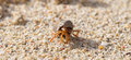 Very small lobster in a small shell walking on beach Stock Photography