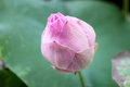 Very soft focus of Pink lotus blossoms or water lily flowers blooming on pond Royalty Free Stock Photo