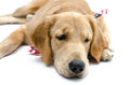 Very tired dog looking sad Stock Image