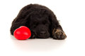 Very tired young labrador with a toy Stock Photos