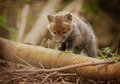 Very young fox cub out exploring baby the area around the den Royalty Free Stock Images