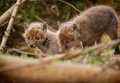 Very young fox cub with sibling baby and out of the den Royalty Free Stock Images
