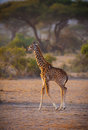 Very young giraffe jogs kilimanjaro forests Stock Photo