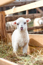 Very young lamb barely standing eating grass and staring at camera Stock Image
