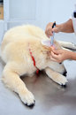 Vet checking dogs ear a puppy golden retrievers with a pen light Stock Photo