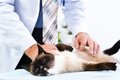 Vet checks the health of a cat Royalty Free Stock Photo