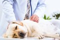 Vet Checks The Health Of A Dog