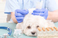 Vet doing acupuncture treatment on dog s head Stock Photo