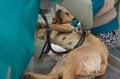 Vet examine the dog before adoption Royalty Free Stock Photo