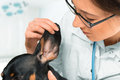 Vet examines ear of dog