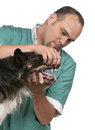 Vet examining a Border Collie in front of white Stock Photo