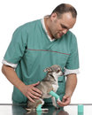 Vet examining a Chihuahua paw in front of white Royalty Free Stock Photo