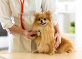 The vet examining the dog breeds Spitz with stethoscope in clinic Royalty Free Stock Photo