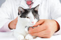 Vet listens a feline Royalty Free Stock Photo