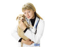 Vet and puppy beautiful woman veterinarian holding a little Royalty Free Stock Image