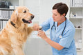 Vet using nail clipper on a dog in medical office Royalty Free Stock Image