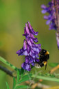 Vetch and bumblebee Stock Photography