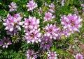 vetch för coronillakronavarias Royaltyfri Foto