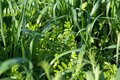 Vetch and oats as cover crops. Green manure crops Royalty Free Stock Photo