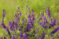 Vetch purple flower vicia cracca on meadow Royalty Free Stock Photo
