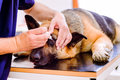 Veterinarian applying eye drops to the German Shepherd dog Royalty Free Stock Photo