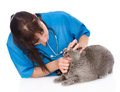 The veterinarian checks teeth to a cat. isolated on white backgr Royalty Free Stock Photo