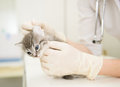 Veterinarian cleans ears cat Royalty Free Stock Photo