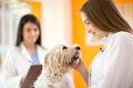 Veterinarian comforting beautiful maltese dog young in vet clinic Stock Photography