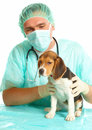 Veterinarian doctor and a beagle puppy Royalty Free Stock Image