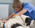 Veterinarian doctor making a checkup Stock Photos