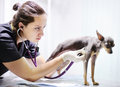 Veterinarian doctor using stethoscope for dog during examination in veterinary clinic Royalty Free Stock Photo