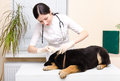 Veterinarian dripping ear puppy Royalty Free Stock Photo