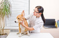 Veterinarian examines ears beagle the dog s of breed Stock Photo