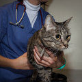 Veterinarian examining a cute young cat male Royalty Free Stock Photography