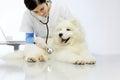 Veterinarian examining dog on table in vet clinic Royalty Free Stock Photo