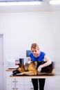 Veterinarian examining German Shepherd dog with sore stomach. Royalty Free Stock Photo