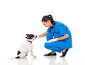 Veterinarian female doctor playing pet dog white Stock Images