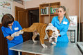 Veterinarians inspects bulldog in veterinary station Royalty Free Stock Image