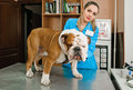 Veterinarians inspects bulldog in veterinary station Stock Photo