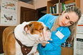 Veterinarians inspects bulldog in veterinary station Stock Image