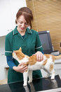 Veterinario de sexo femenino que examina a cat in surgery Fotos de archivo