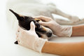 Veterinary assistant hands checking pet dog eye Stock Images