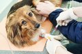Veterinary blood test examination of the dog veterinarian surgeon worker making medical in surgery clinic Stock Images