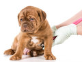 Veterinary care dogue de bordeaux being examined by veterinarian isolated on white background Royalty Free Stock Photography